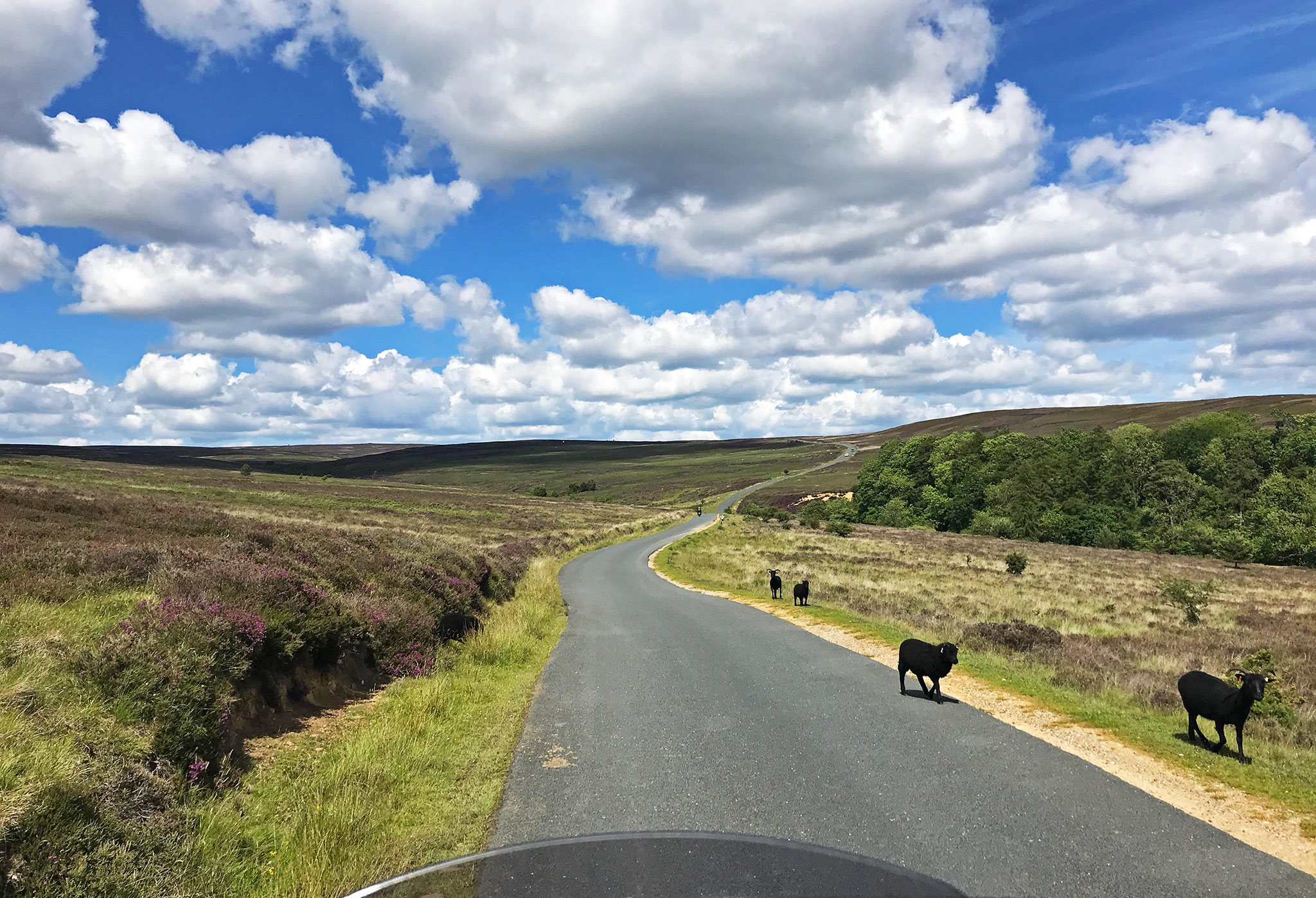 Yorskhire North Moors; black goats & North Yorkshire Moors